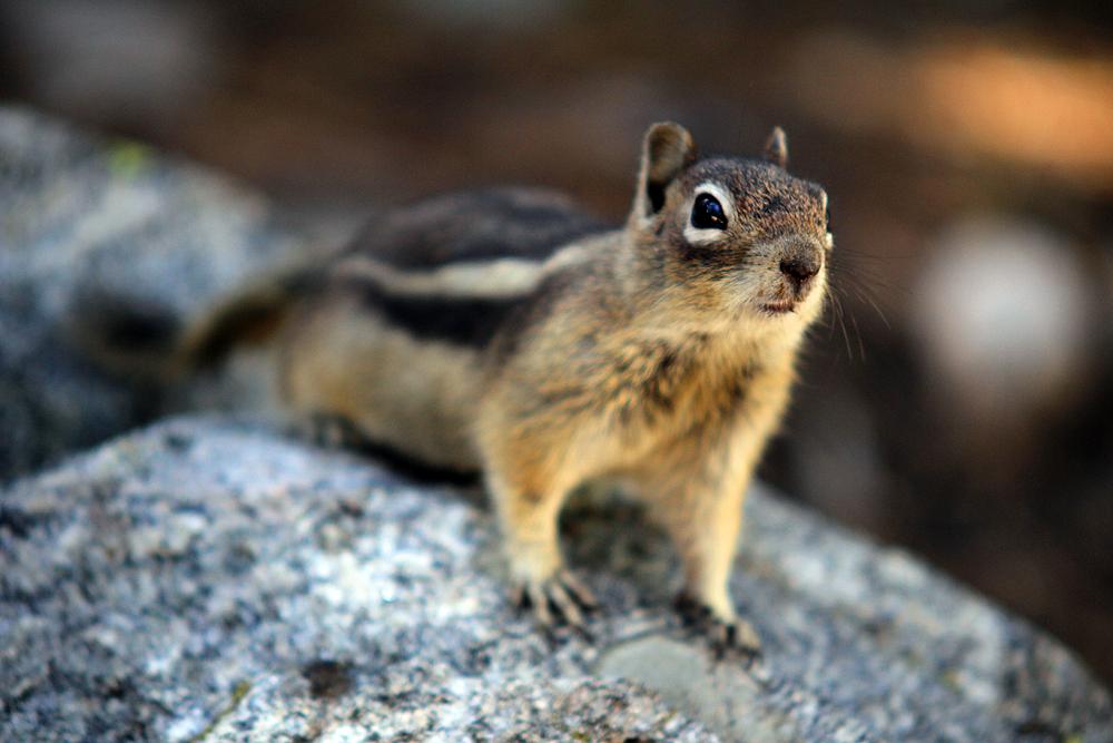 chipmunk-rocky-mountains-national-park