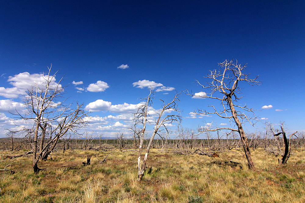 dead-trees-mesa-verde-national-park