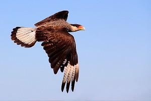 greifvogel-esteros-del-ibera