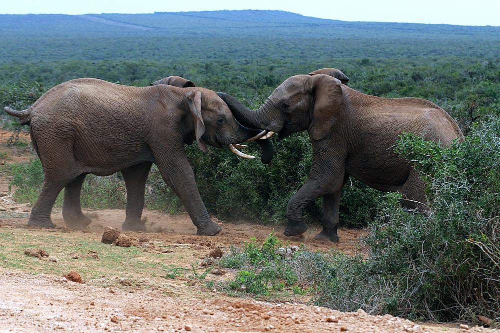 addo-elephant-national-park-südafrika
