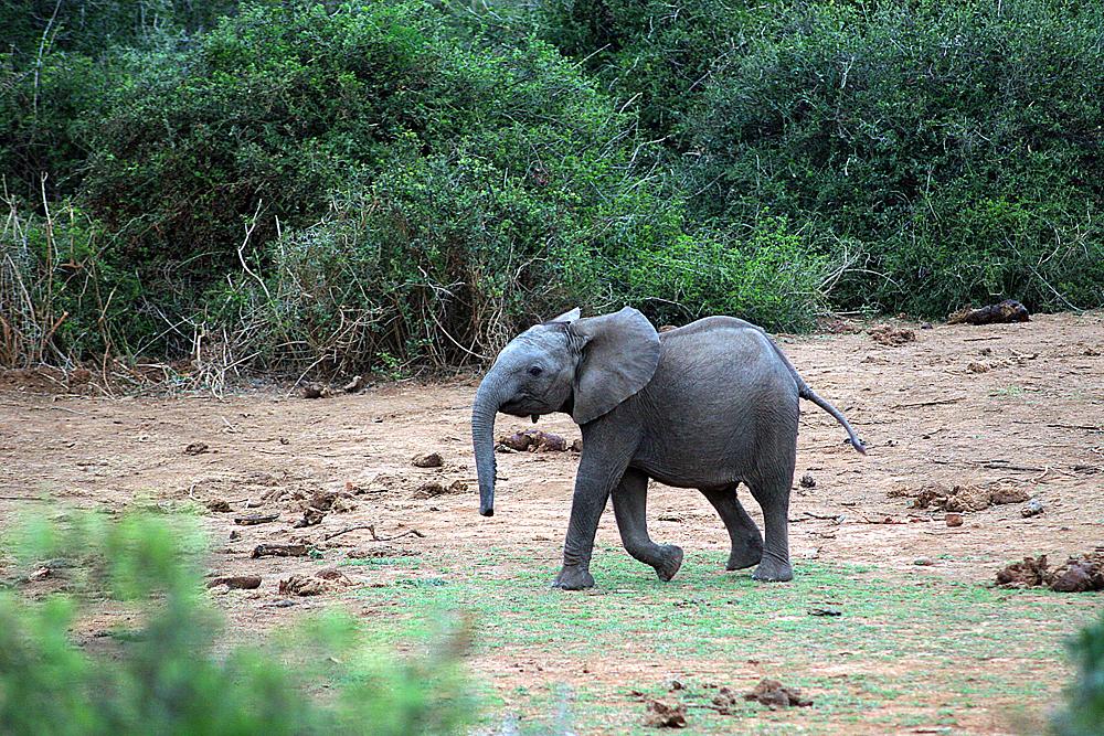 baby-elefant-addo-elephant-park