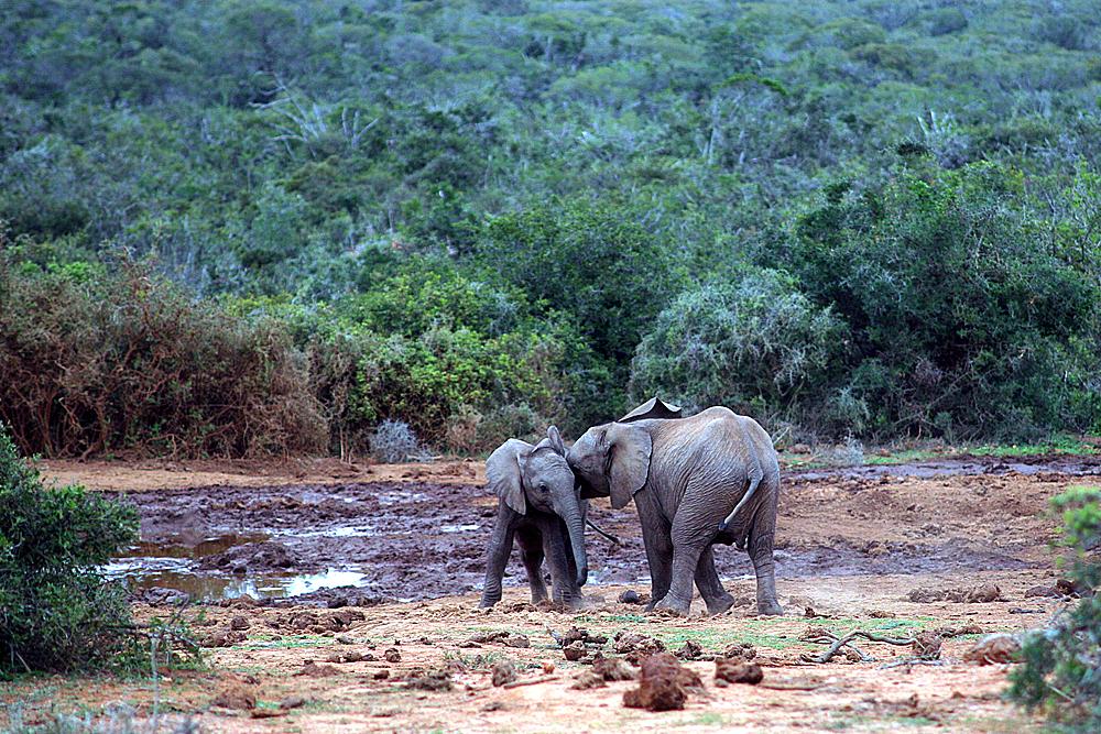baby-elefanten-addo-elephant-park