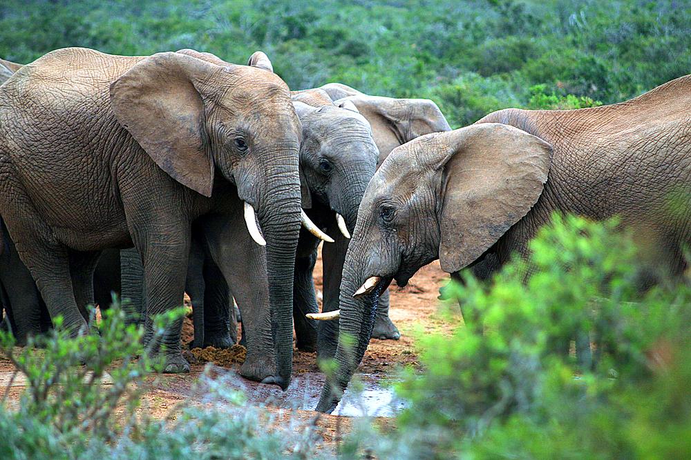 elefantenherde-addo-elephant-national-park