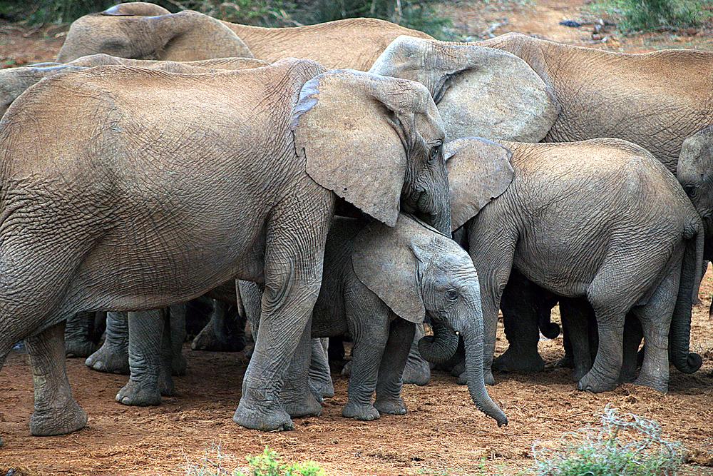 elefantenherde-addo-elephant-park