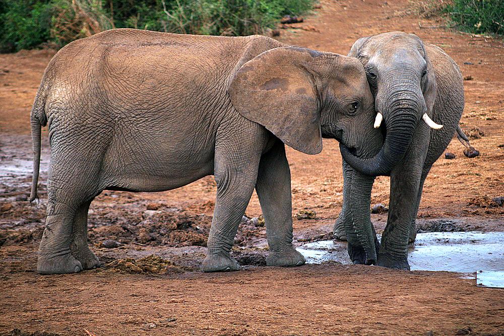 elefantenpaar-addo-elephant-national-park
