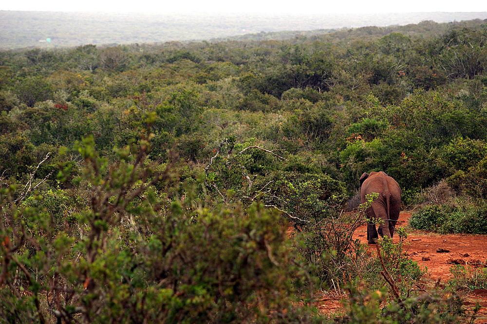 elelfant-addo-elephant-national-park