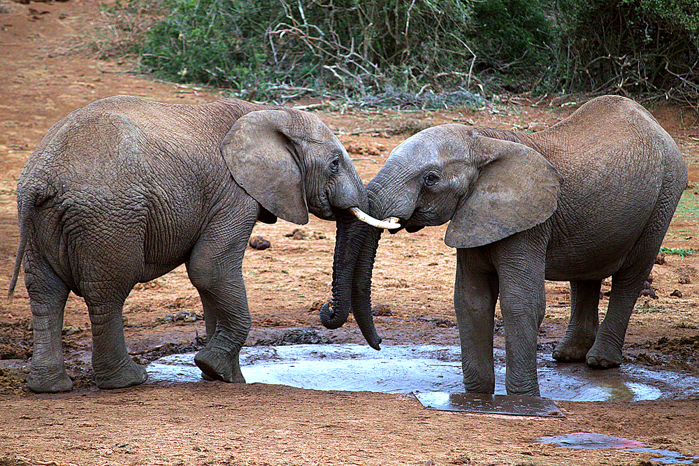 elelfanten-addo-elephant-park-südafrika