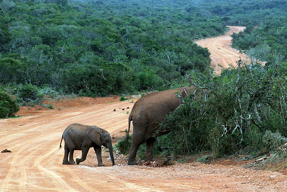 elelfanten-addo-elephant-park