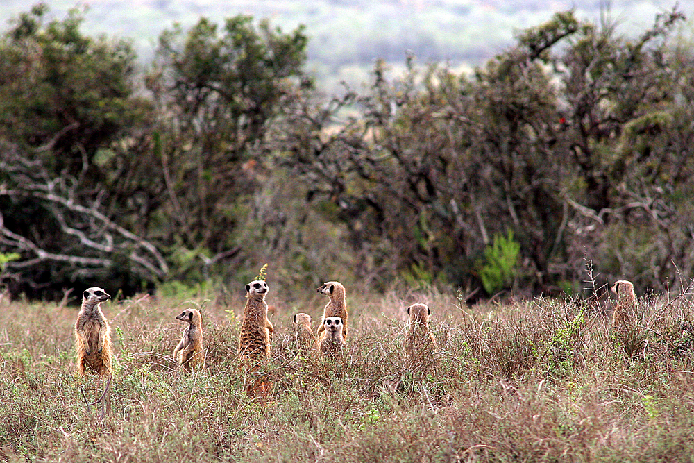 erdmännchen-addo-elephant-national-park