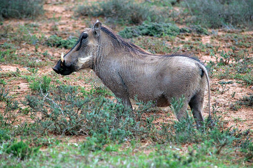 warzenschwein-addo-elephant-national-park