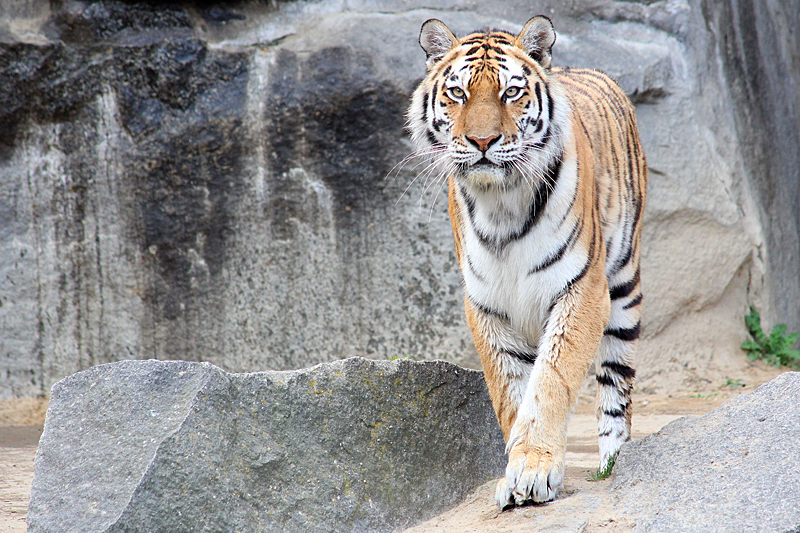 Tiger-Tierpark-Berlin