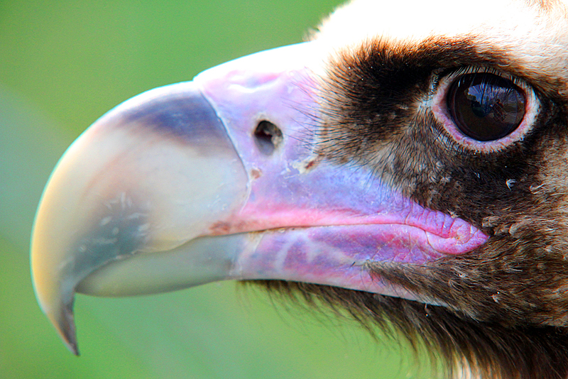 geier-close-up-tierpark-berlin