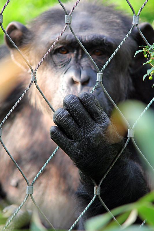 gorilla-zoo-berlin