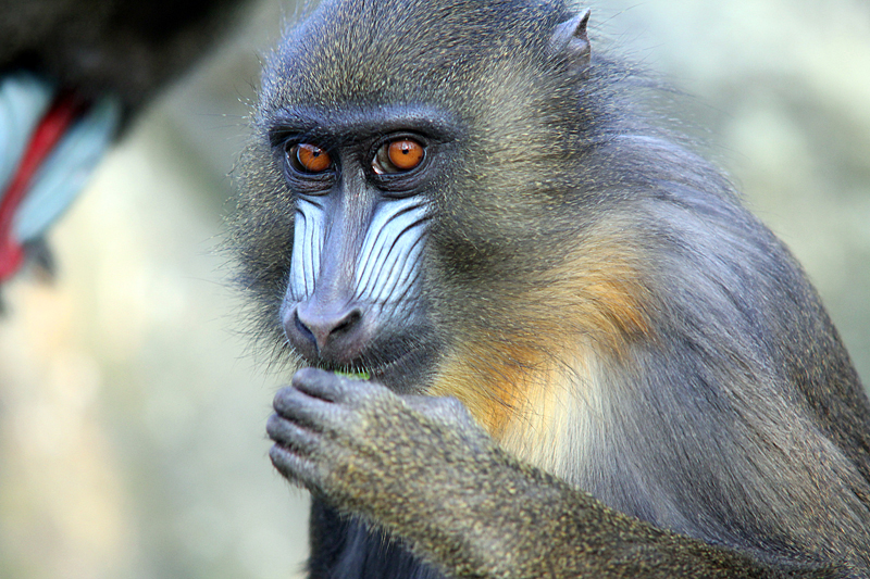 mandrill-zoo-berlin