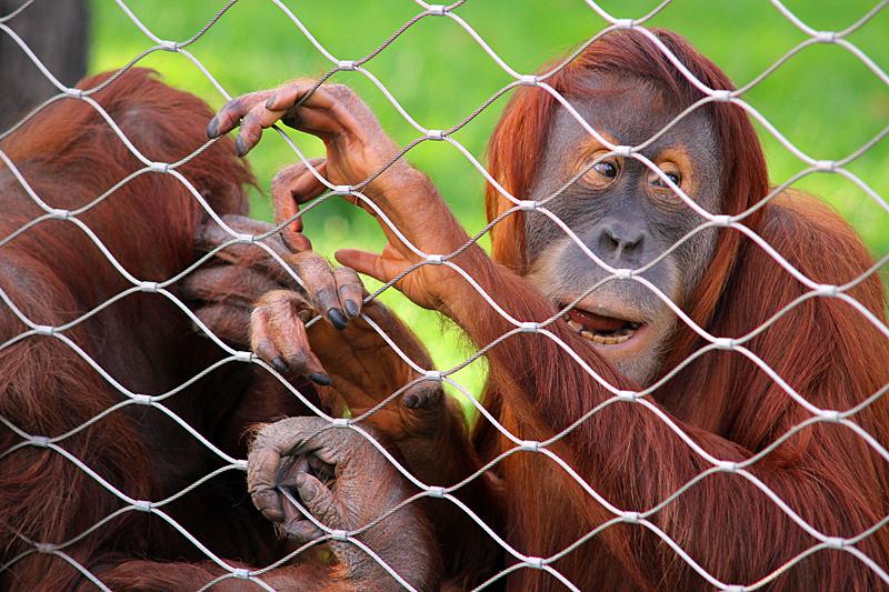 orang-utan-zoo-berlin