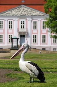 pelikan-schloss-friedrichsfelde-tierpark-berlin