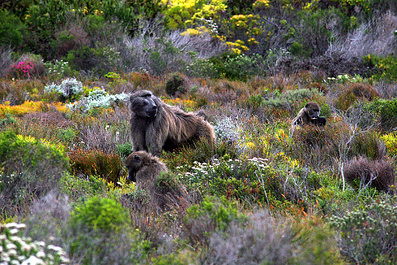 paviane-table-mountain-national-park-garden-route