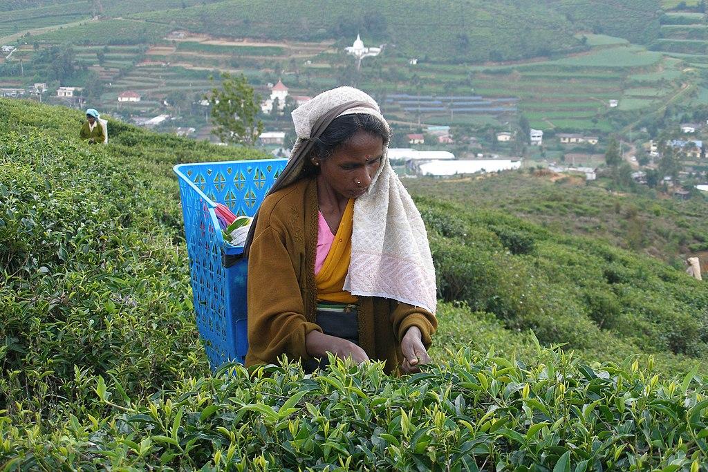 Sri Lanka Sehenswürdigkeiten – Teeplantagen rund um Nuwara Eliya